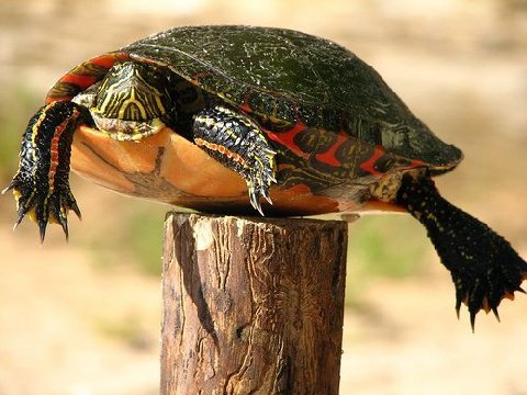 A Post Turtle